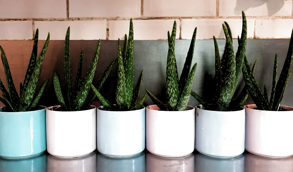 "♡ 𝗥𝗲𝘀𝘁𝗮𝘂𝗿𝗮𝗻𝘁 𝗞𝗮𝗿𝗮𝗸𝘁𝗲𝗿 ♡ on Instagram: ""Aloe you vera much👩🌾😍! New greenies for in the restaurant🌵. . . . . . #aloevera…"" - #Aloe #aloevera #greenies #instagram #restaurant #Vera #𝙺𝚊𝚝𝚎𝚕𝚢𝚗𝚗 #𝗥𝗲𝘀𝘁𝗮𝘂𝗿𝗮𝗻𝘁"