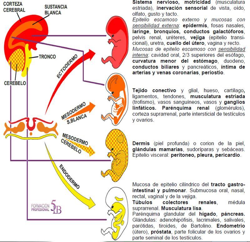 Hojas Embrionarias Nueva Medicina Hamer 3ra Ley Biologica Sistema ...