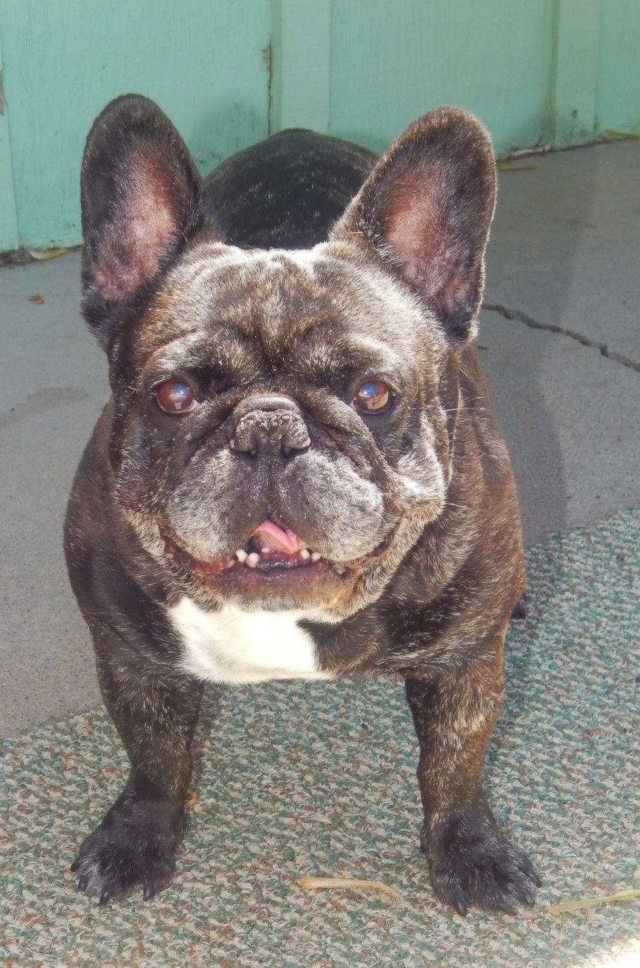 My Precious Ol Girl And First Frenchie Katie Girl 3 French Bulldog English Bulldog Boston Terrier