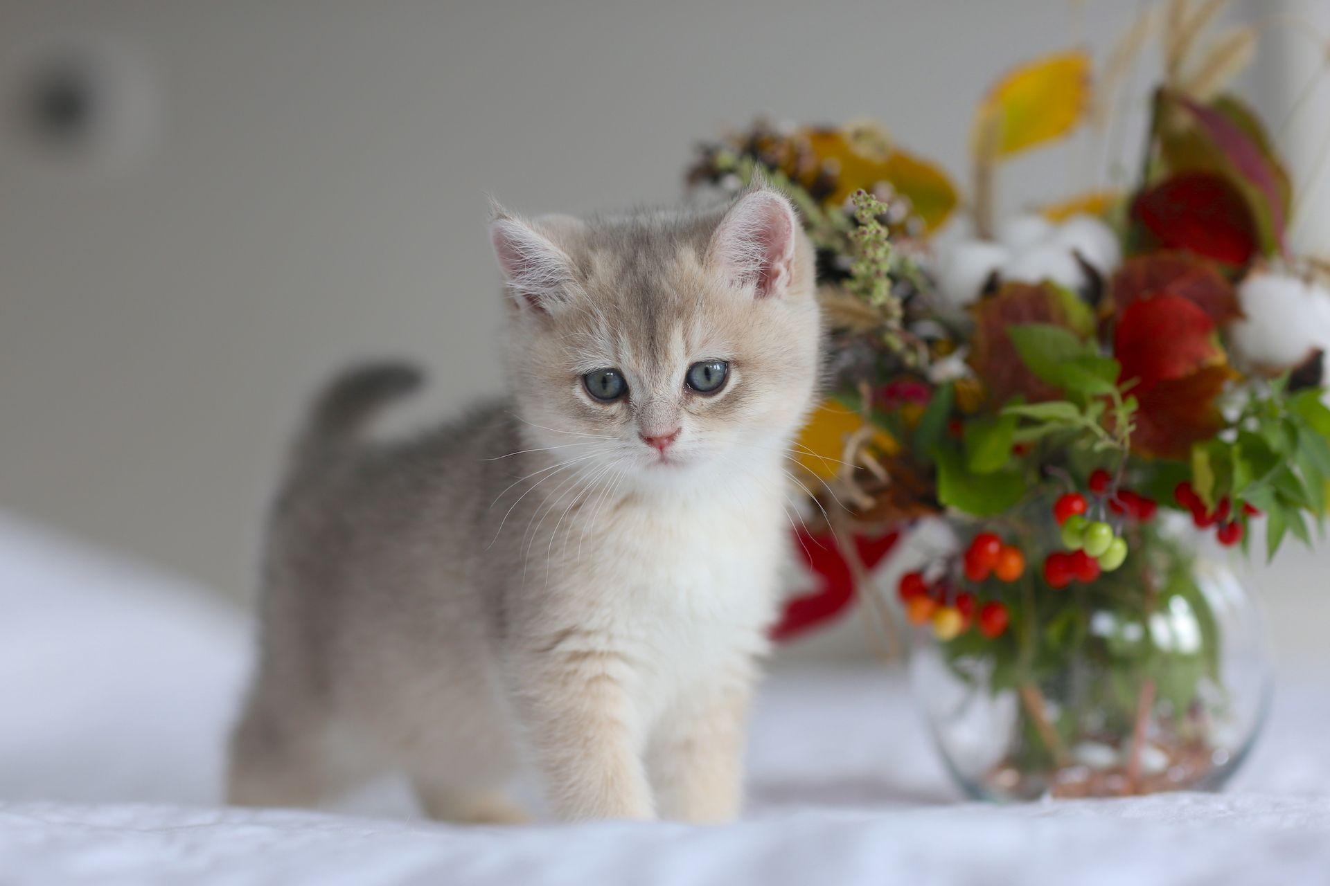 British Shorthair Blue Golden Shaded Kitten Katzen Instagram