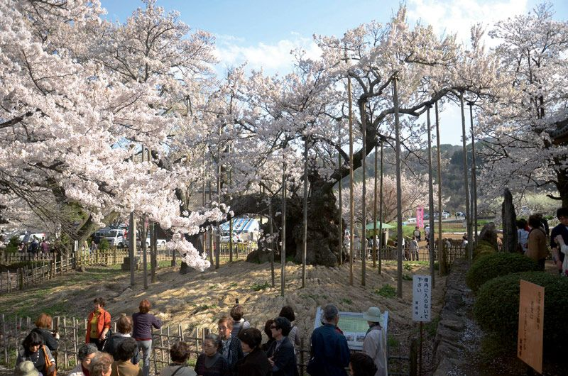 Japan S Oldest Cherry Tree Yamataka Jindai Sakura Apr 5 2013 Visit Japan Japan Cherry Tree