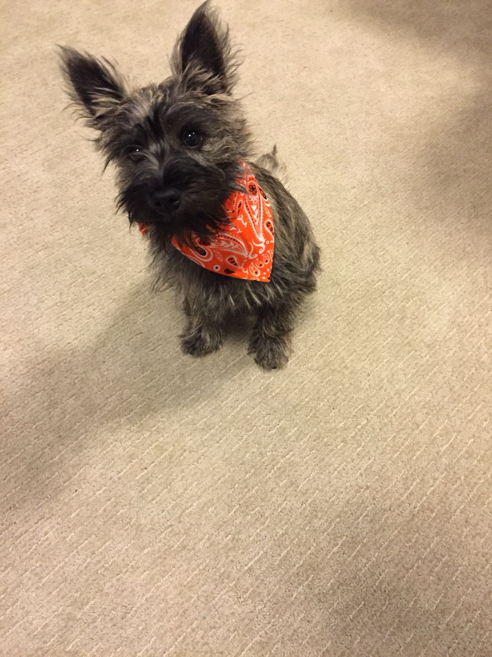 Cairn Terrier Puppy With New Fall Bandana Cairn Terrier Puppies