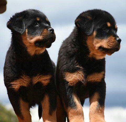 We Are Twins Rottweiler Pinterest Rottweiler Twins I Love