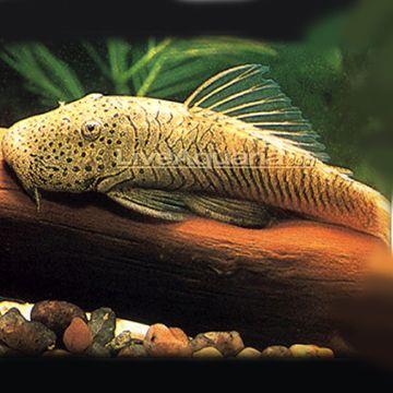 Thomasi Pleco Or Bulldog Pleco Max Size 6 Aquarium Fish Saltwater Aquarium Fish Aquarium Catfish