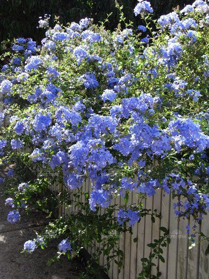 Plumbago auriculata 39 royal cape 39 makes a wonderful low for Blue flowering bush