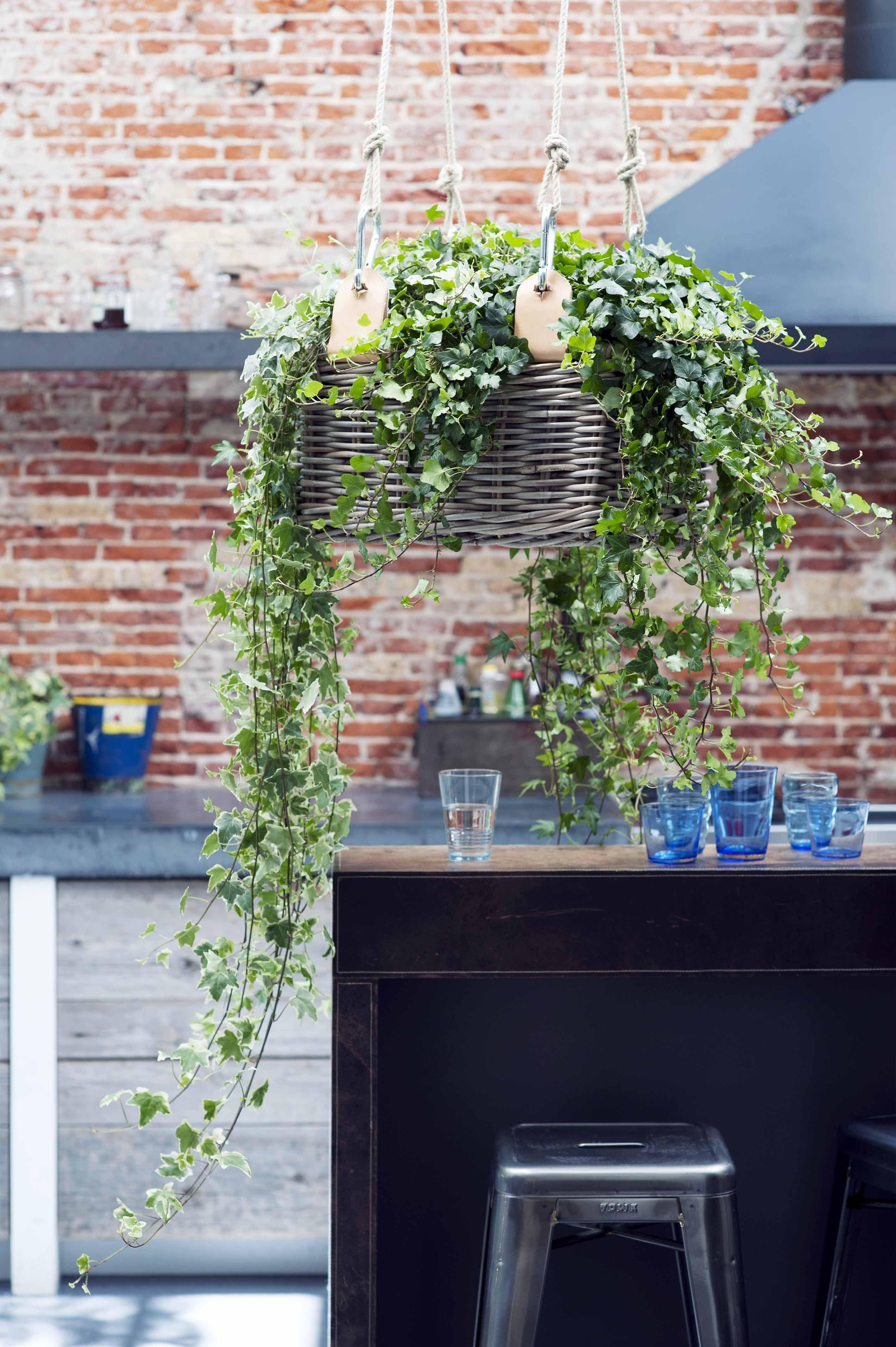Efeu Zimmerpflanze hedera kitchen indoor plants efeu
