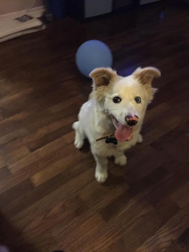 Adopt Blueberry on   Rescue Me   Australian shepherd dogs