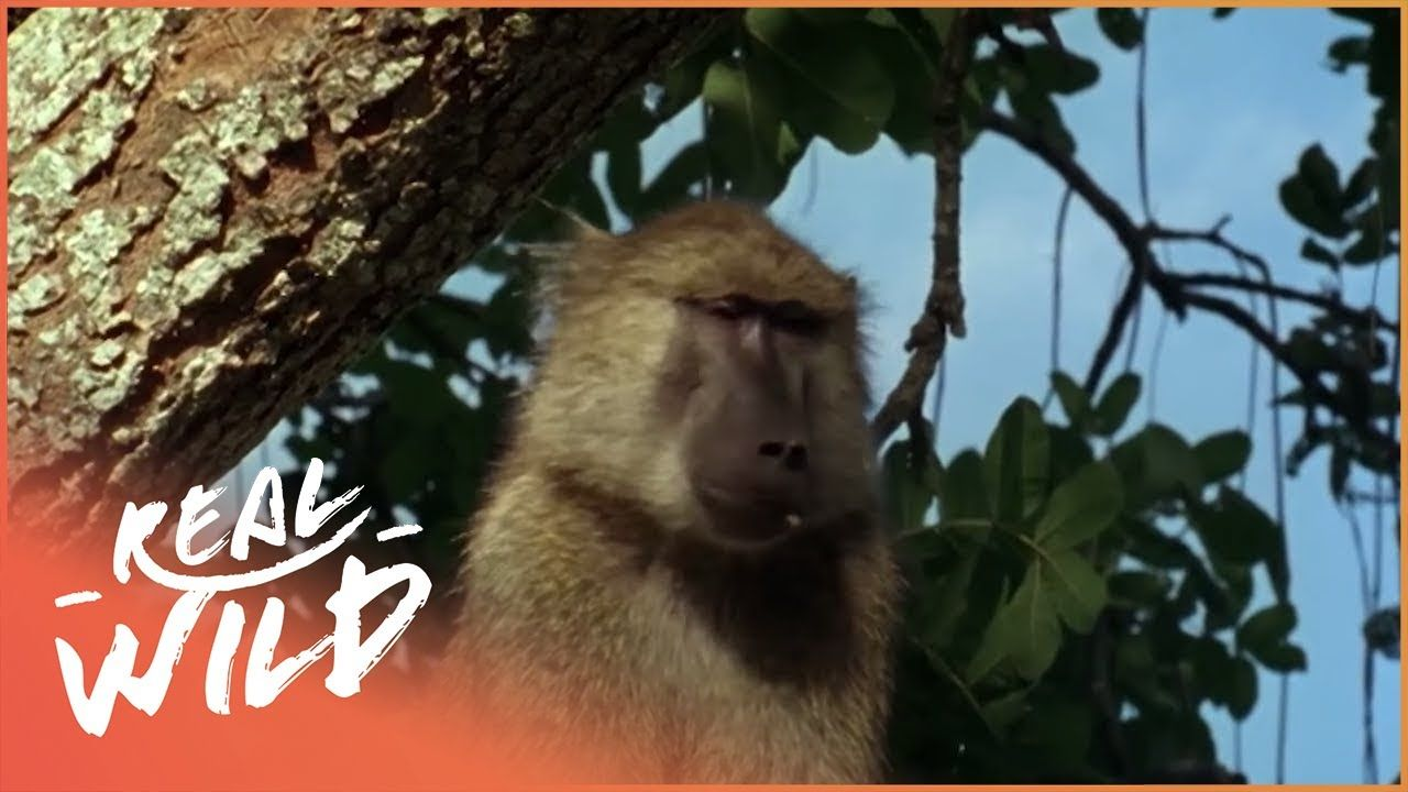 Monkey Hunters [Baboons VS Lions Documentary] | Real Wild ...