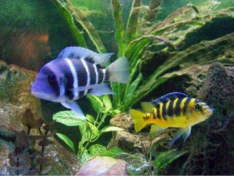 Ikan Hias Cantik Dan Murah Cichlids Ikan Akuarium Ikan Tropis