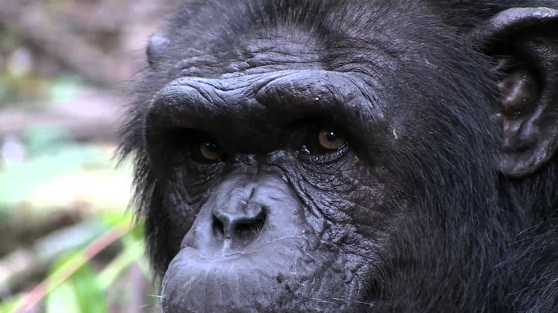 Rescued Chimpanzee Experiences New Forested Enclosure For the First Time