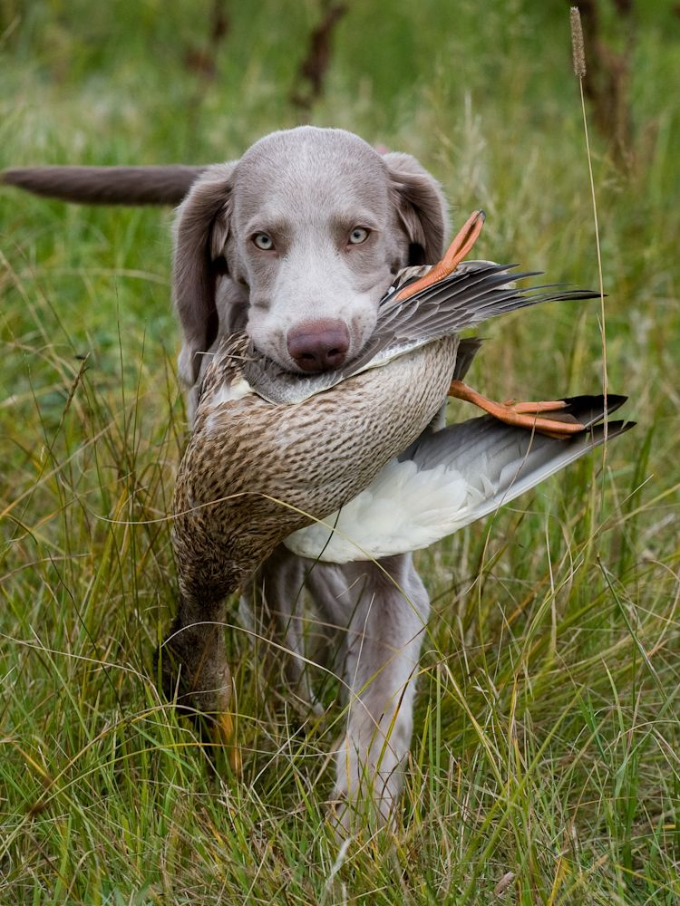 Hunting Weimaraner One Of The Large Hunting Dog Breeds The