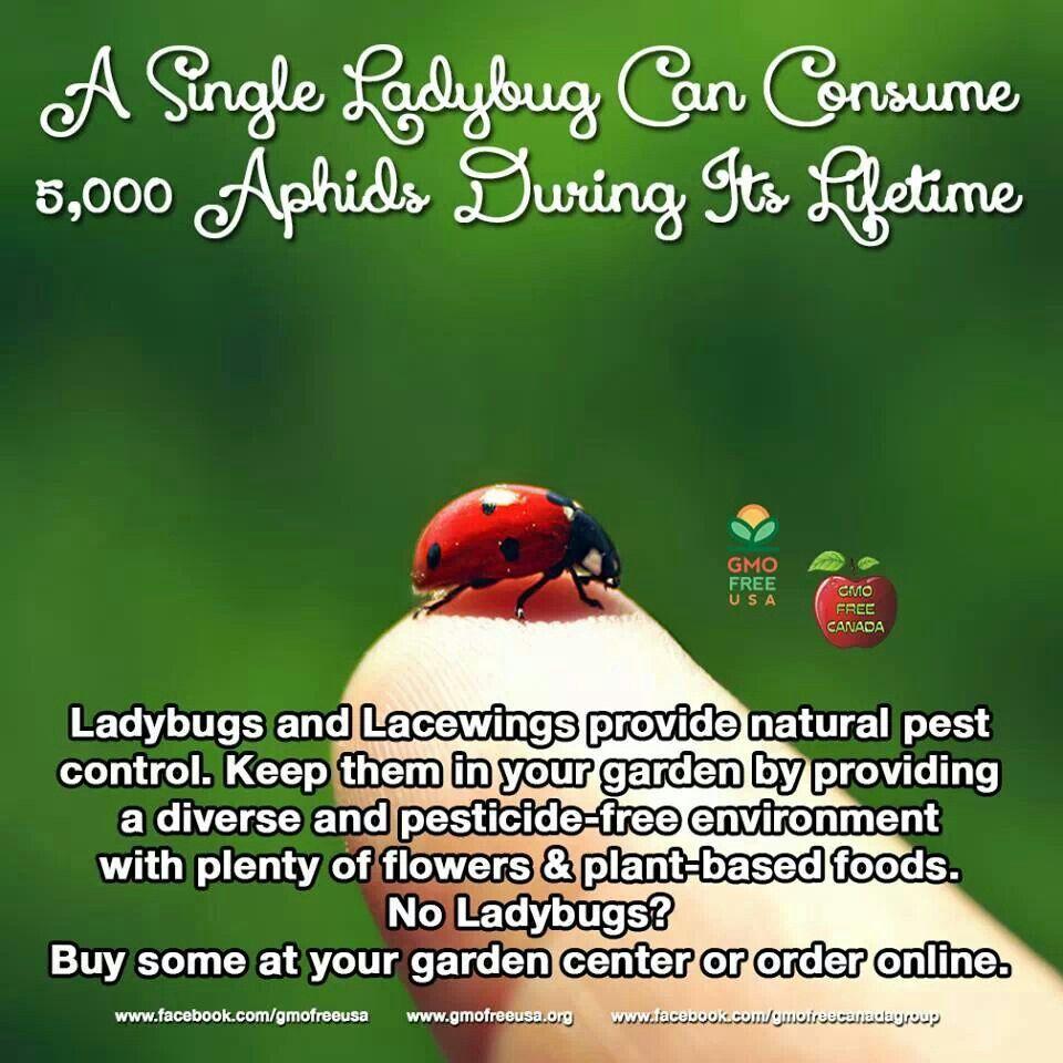 Ladybugs. Garden PestsHome And ...