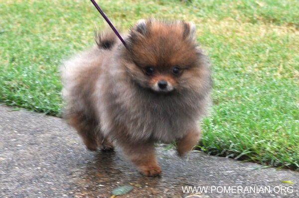 Pomeranian Lifespan Pomeranian Life Expectancy Average Canine
