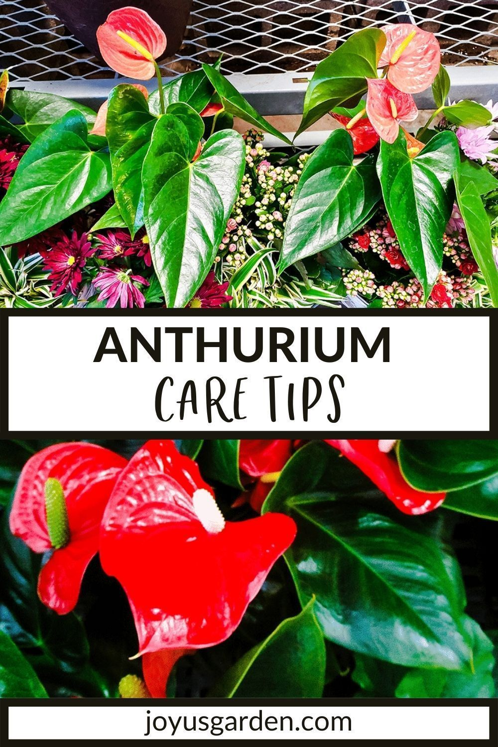 Anthurium Care Growing Tips Anthurium Care Anthurium Anthurium Plant