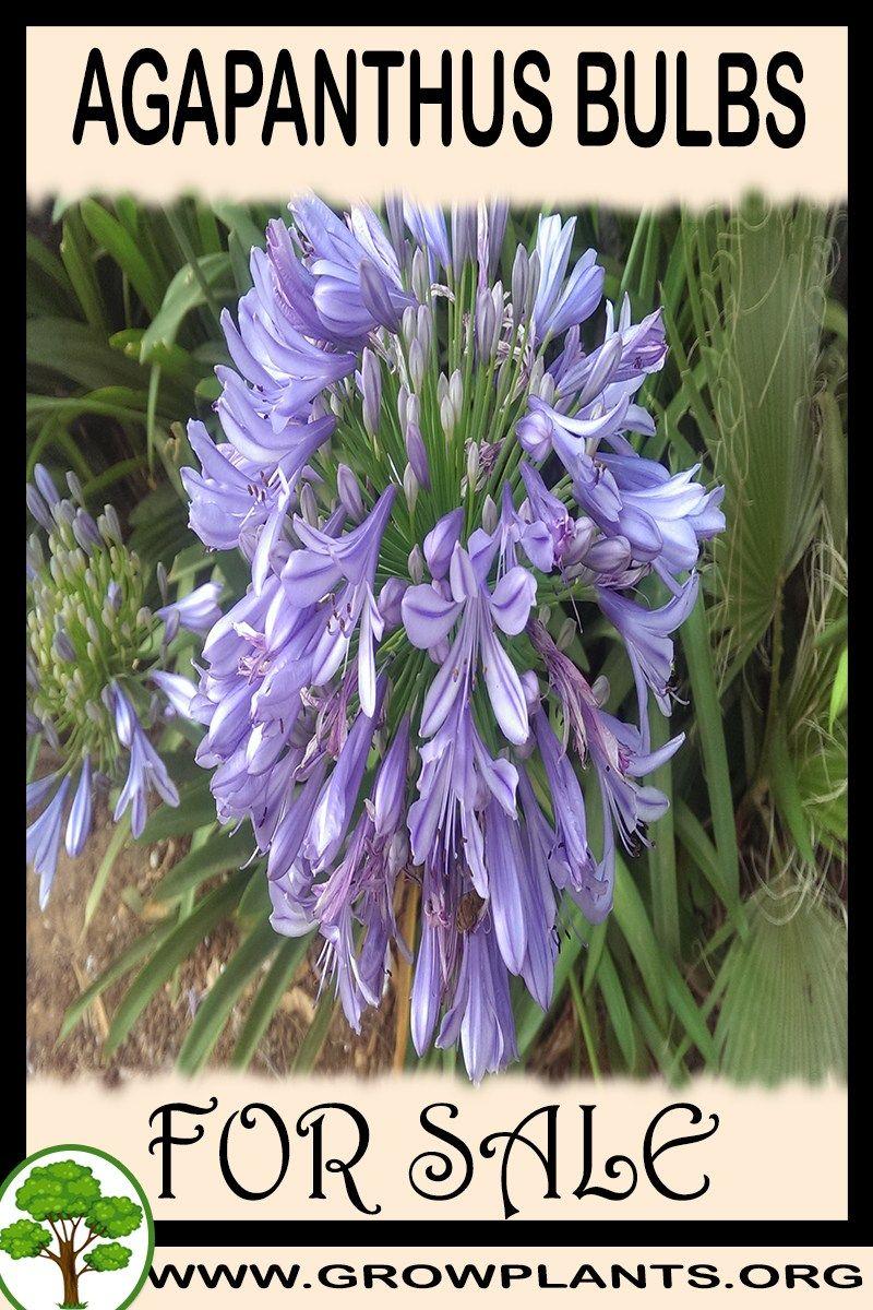 Agapanthus Bulbs For Sale Plants Easy Plants To Grow Bulbs For Sale
