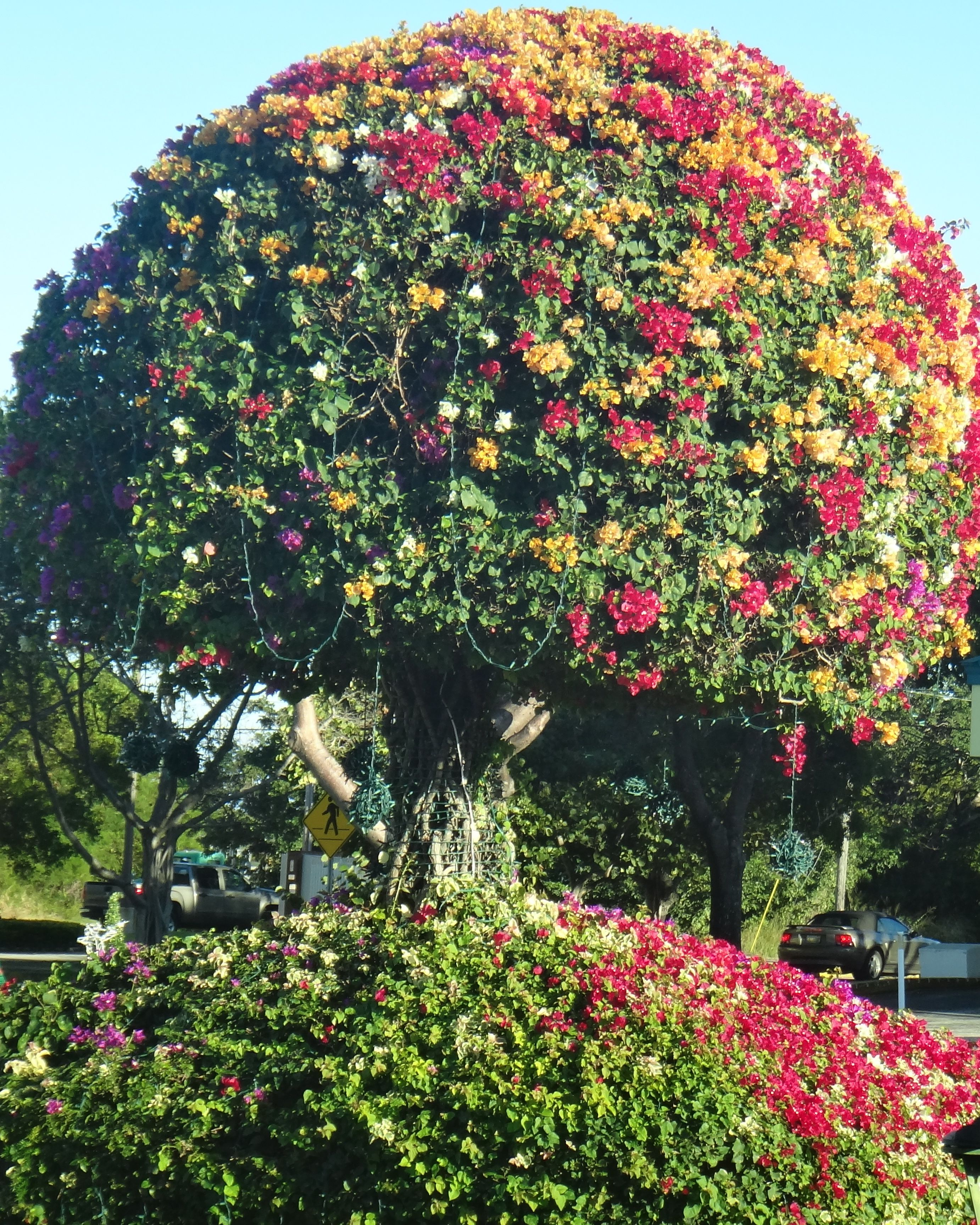 Bougainvillea tree, multi-colors | Nature | Pinterest ...