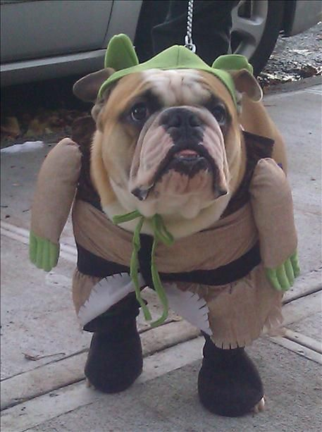 Top 10 English Bulldog Halloween Costumes That Are Going To Blow