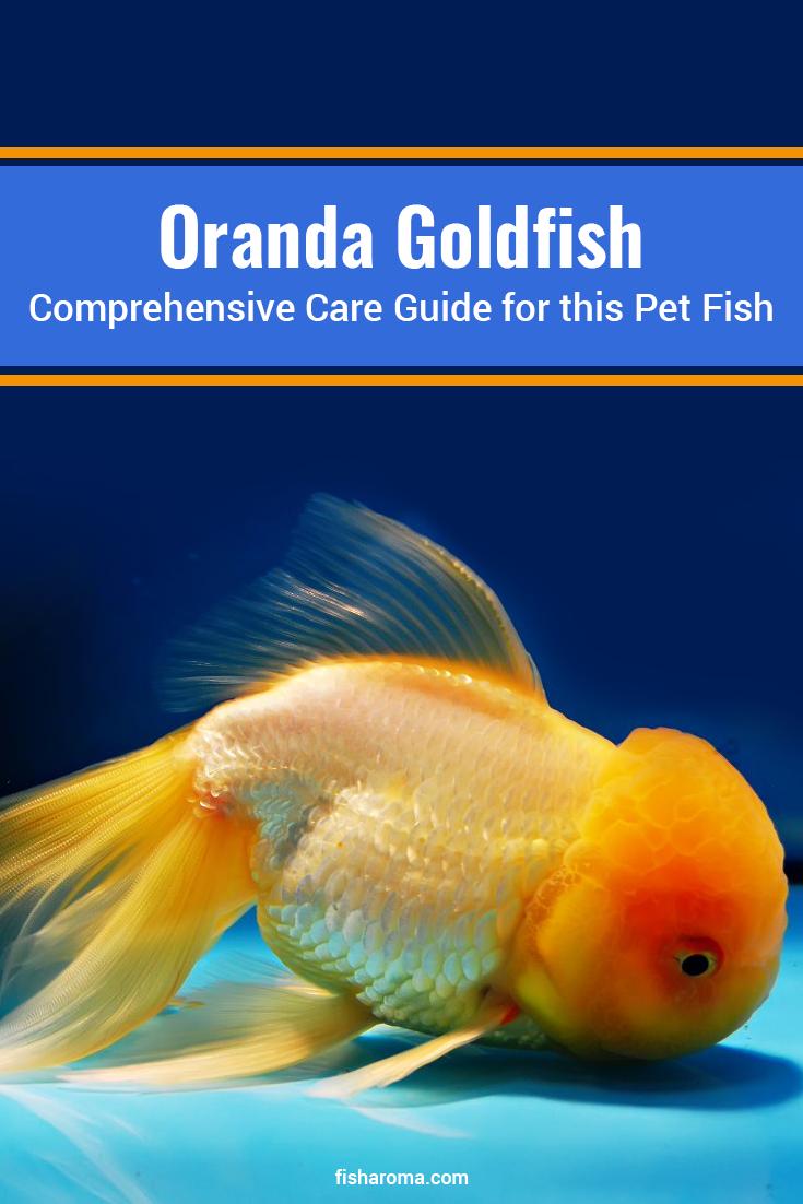 Oranda Goldfish Comprehensive Care Guide For This Pet Fish Oranda Goldfish Is A Common Fish Of Aquarium As M In 2020 Pet Fish Oranda Goldfish Goldfish Aquarium