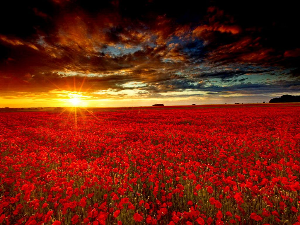 Sunrise on a red flower field | Red I | Pinterest | Red ...