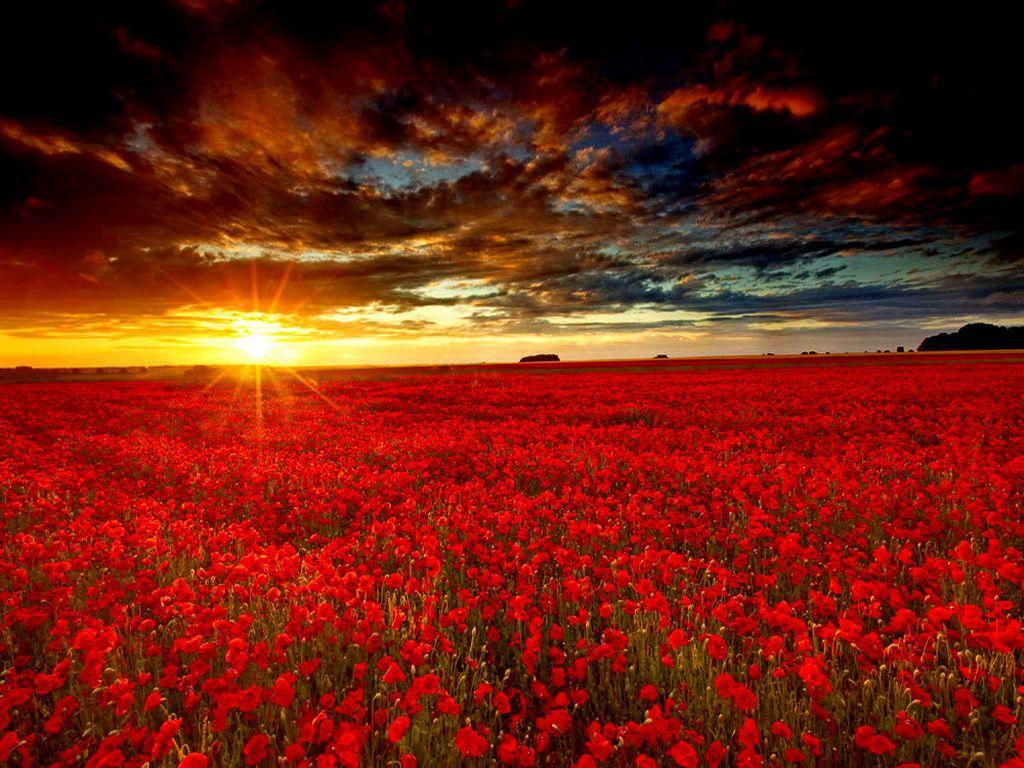 Sunrise On A Red Flower Field