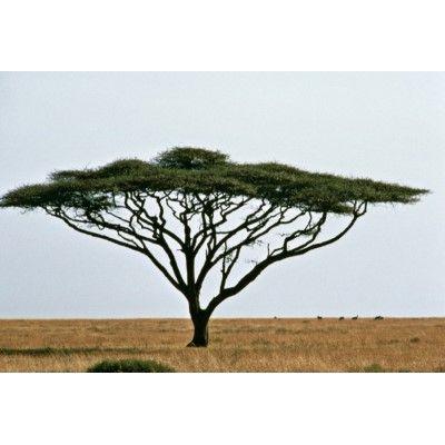 Umbrella Thorn Acacia Tree Cutout Zazzle Com In 2020 African Tree Tree Acacia Tree