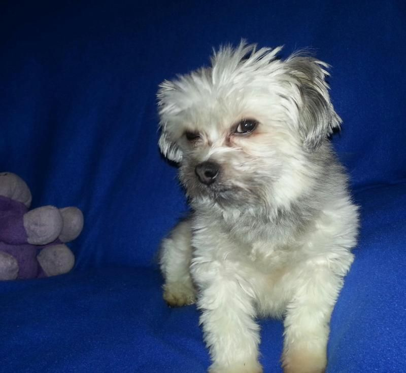 Adopt Quinn On Shih Tzu Dog Chinese Crested Dog Shih Tzu Rescue