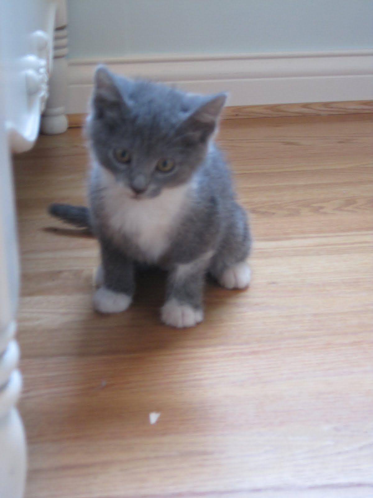 Grey Manx Cat Manx Cat Manx Manx Kittens