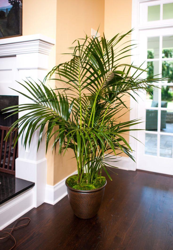 Kentia Palm - garden n flowers - #flowers #garden #Kentia ...