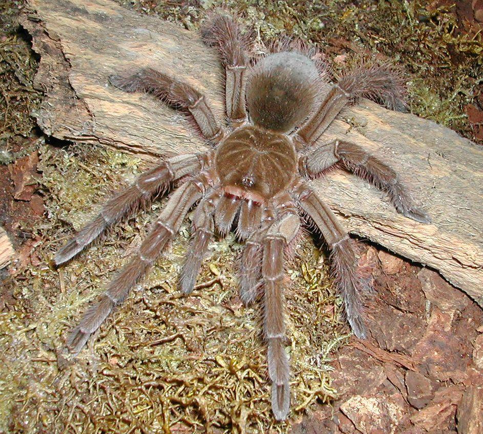 goliath birdeater | Tarantula Goliath Bird Eating Spider ...