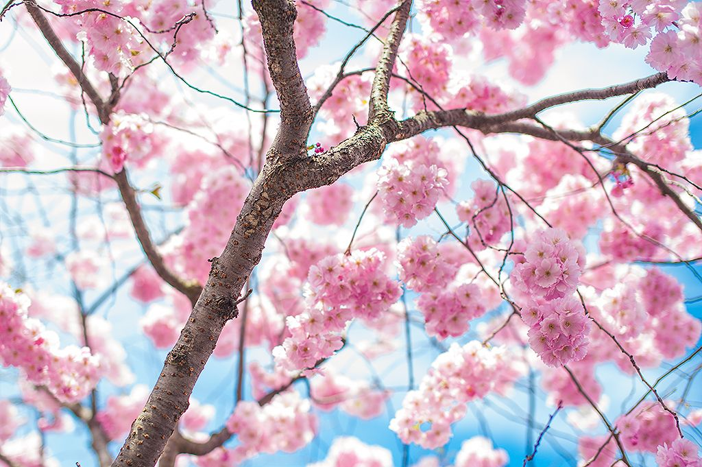 Stockholm Cherry Blossom In The Kings Garden Prunus Accolade In Rear Garden With Pink Daffodil Cherry Blossom Japan Cherry Blossom Tree Language Of Flowers