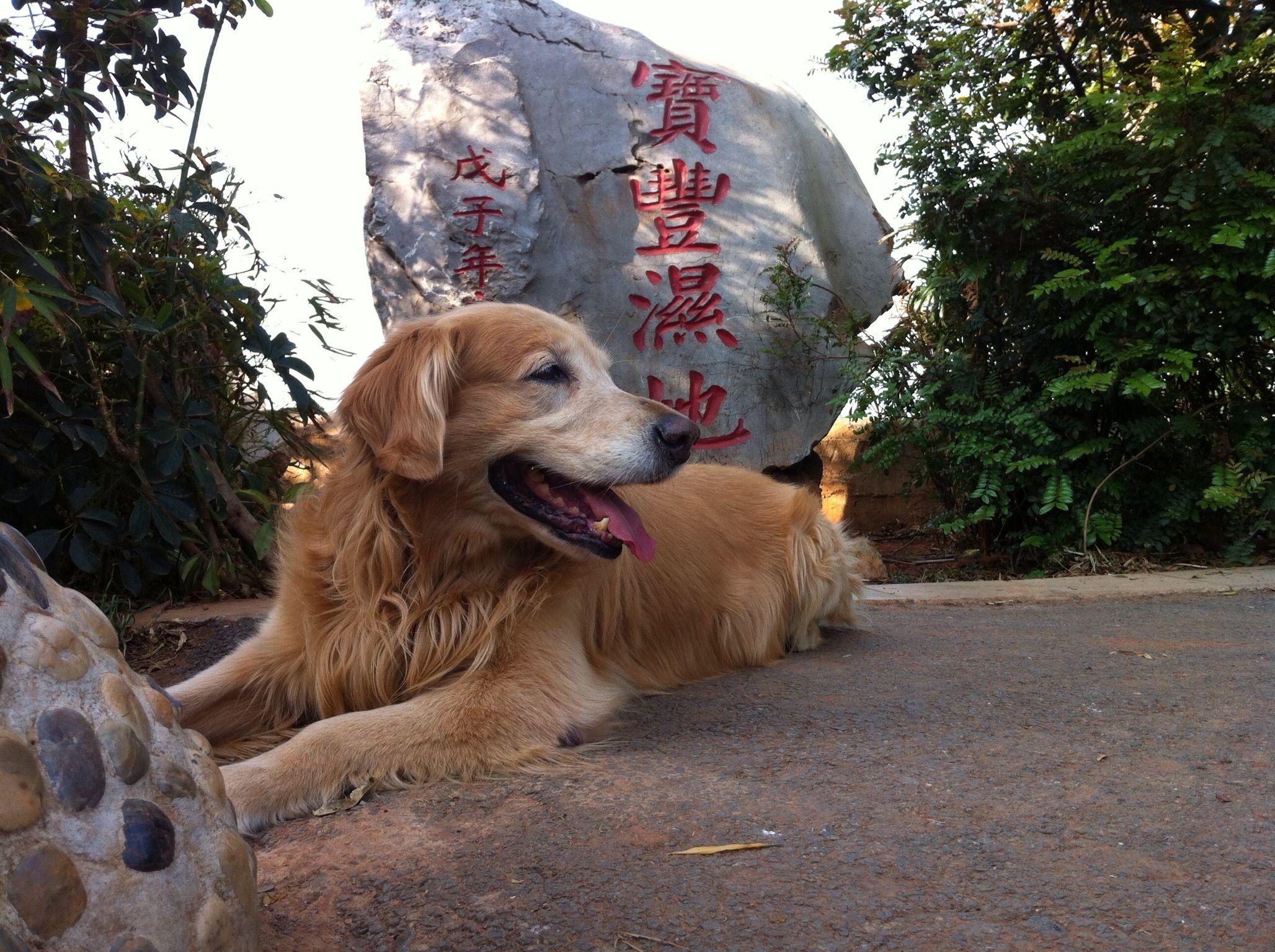 Baofengshidi Kunming Yunnan China Golden Retriever Kunming
