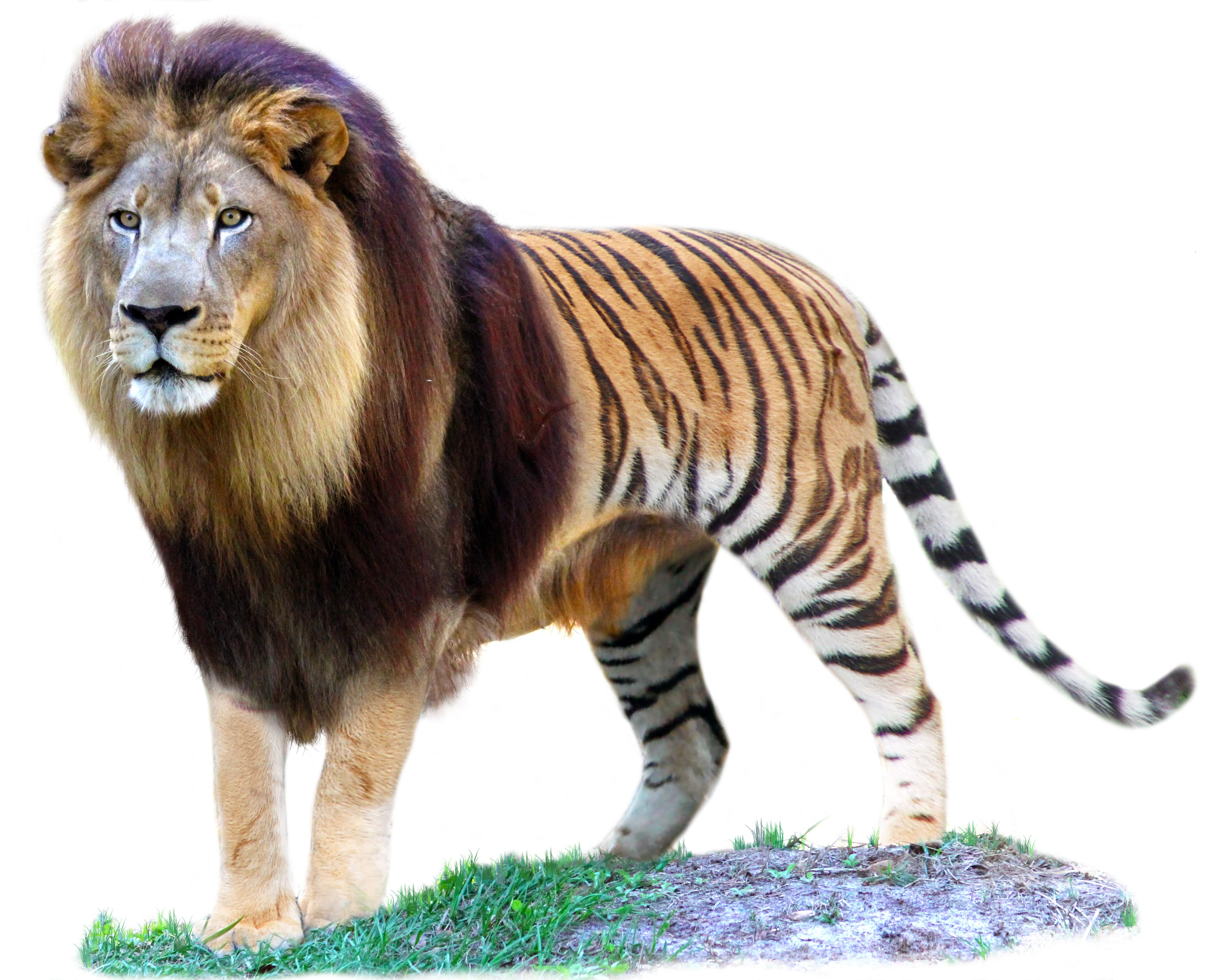 tigron buscar con google ligers pinterest female tiger