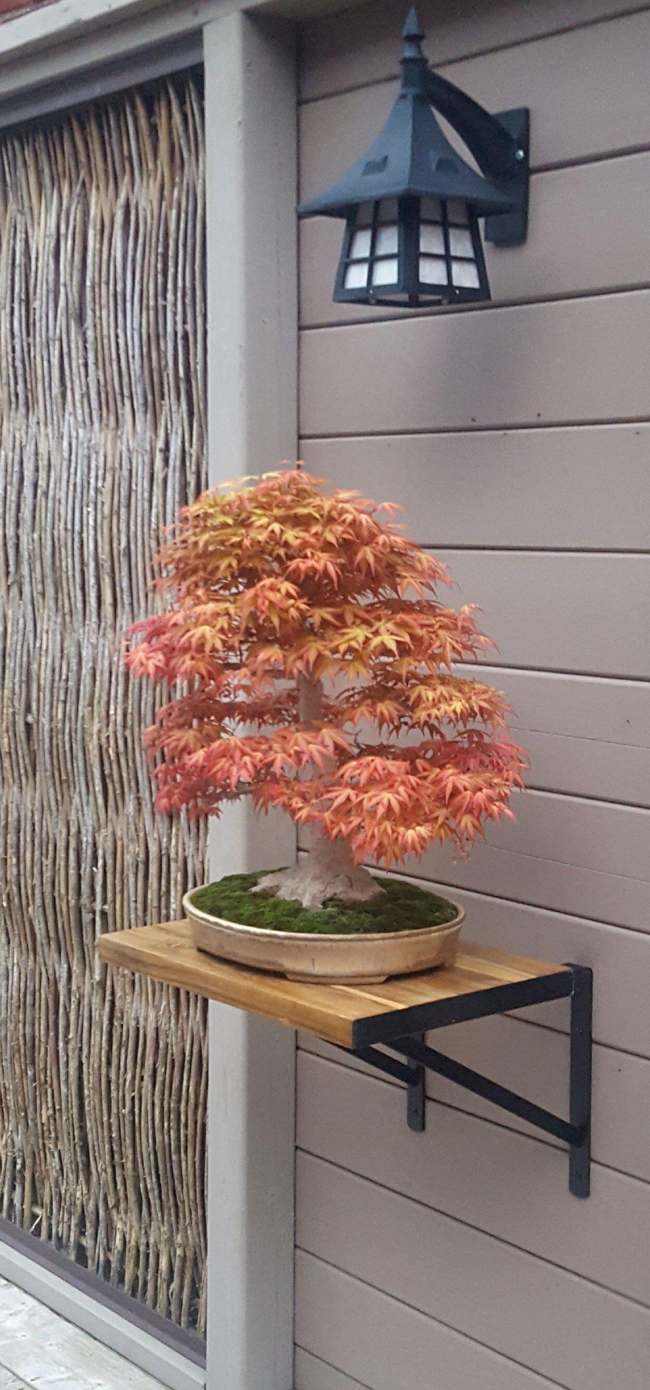 Japanese Maple Benichiodoi #japanesemaple