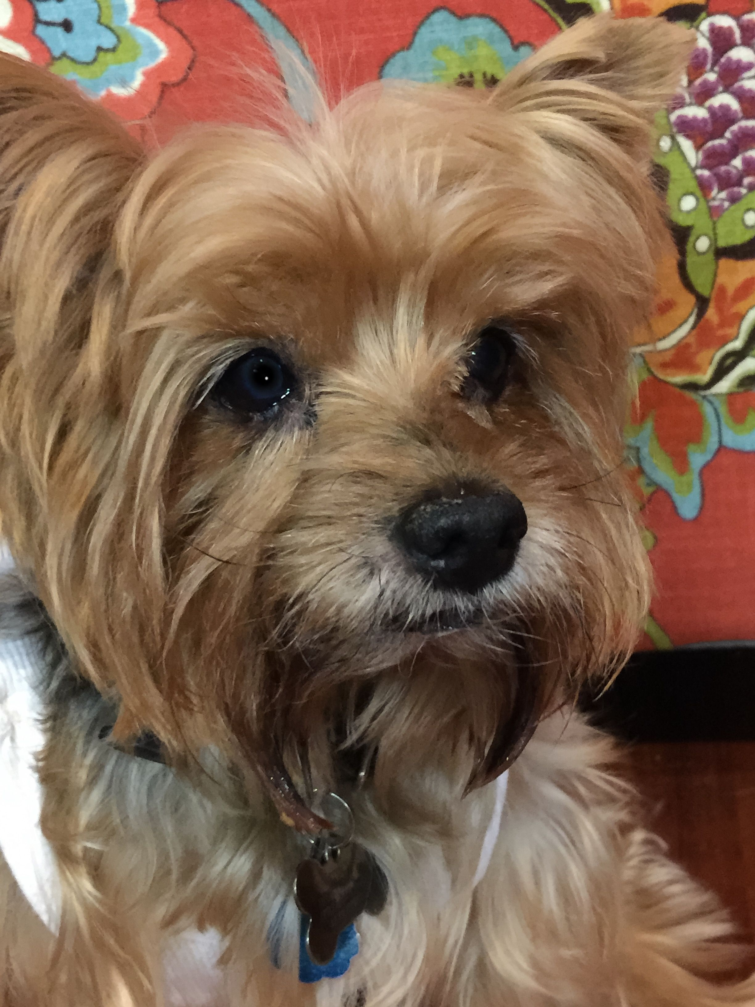 16 Yr Old Yorkie Grayhairrocks Yorkie Doggy Yorkshire Terrier