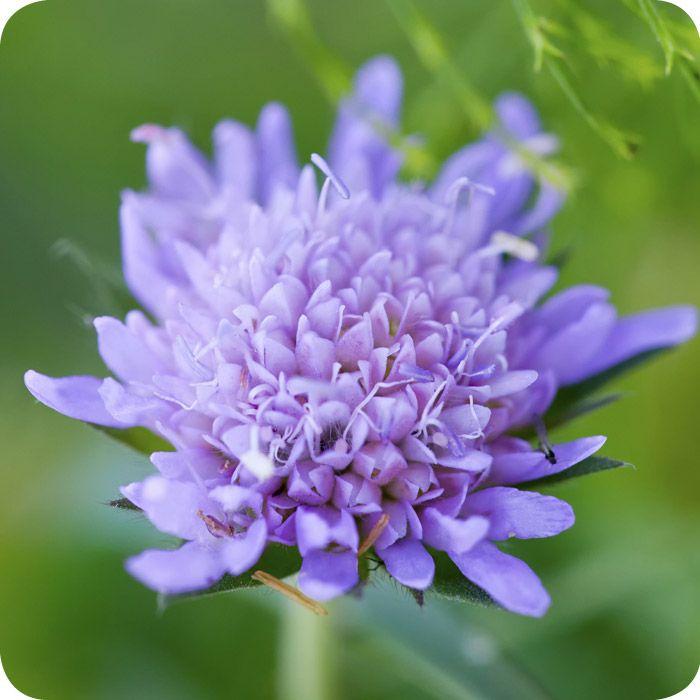 Field Scabious Knautia Arvensis Wild Flowers Wildlife Gardening Flower Fairies