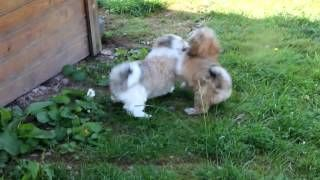 Havaneser Züchter Little Ewoks, Havaneserwelpen YouTube