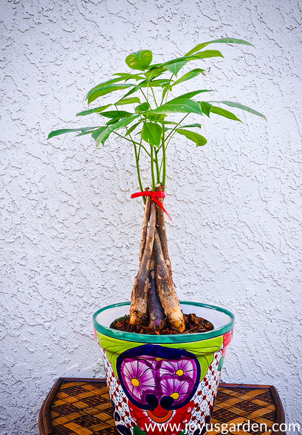 How To Root A Money Tree