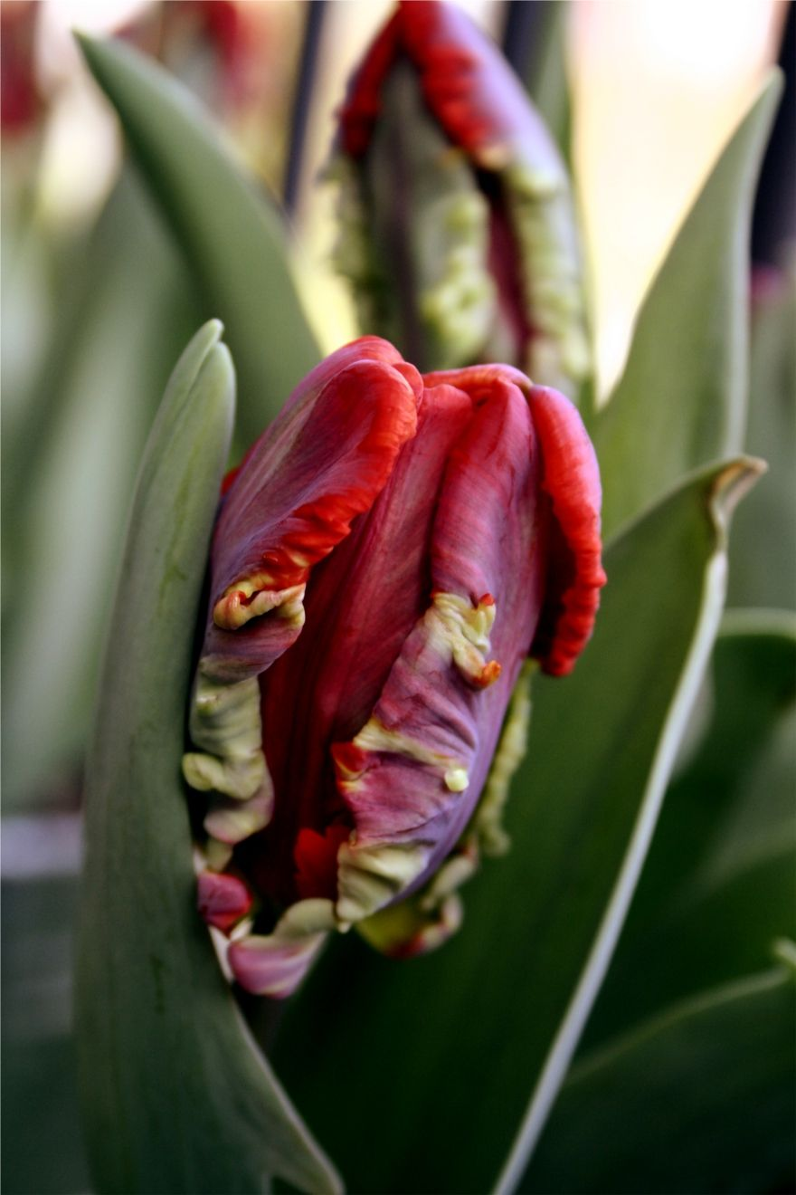 Rococo Parrot Tulipsis It Just Me Or Does This Look -7171