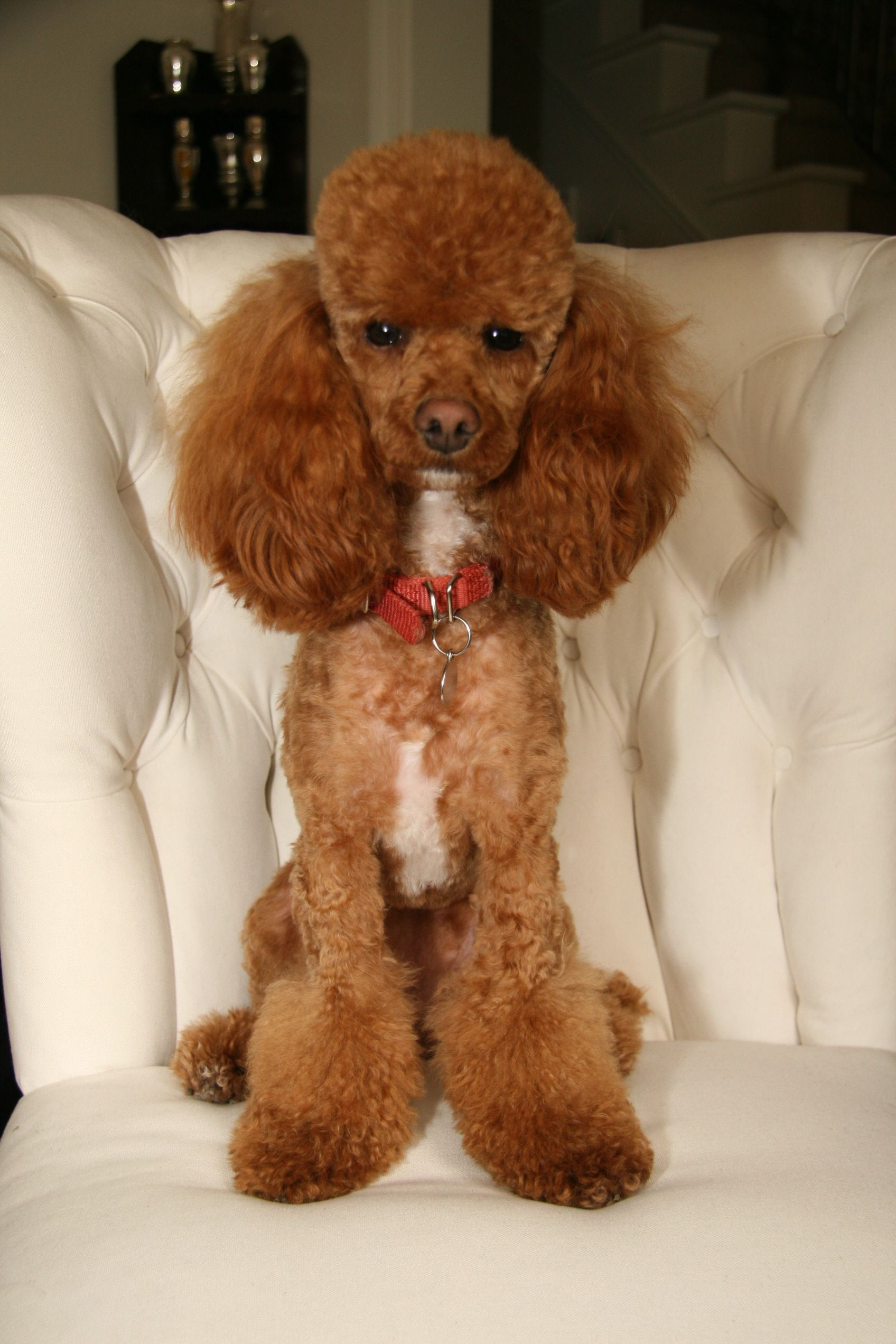 Yes I Do Look Like I Run This House What Do You Think Poodle Dog Red Poodles Mini Poodles