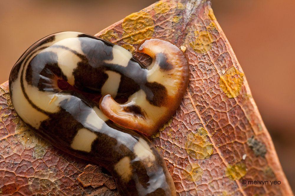 Hammerhead flatworm by melvynyeo on deviantART