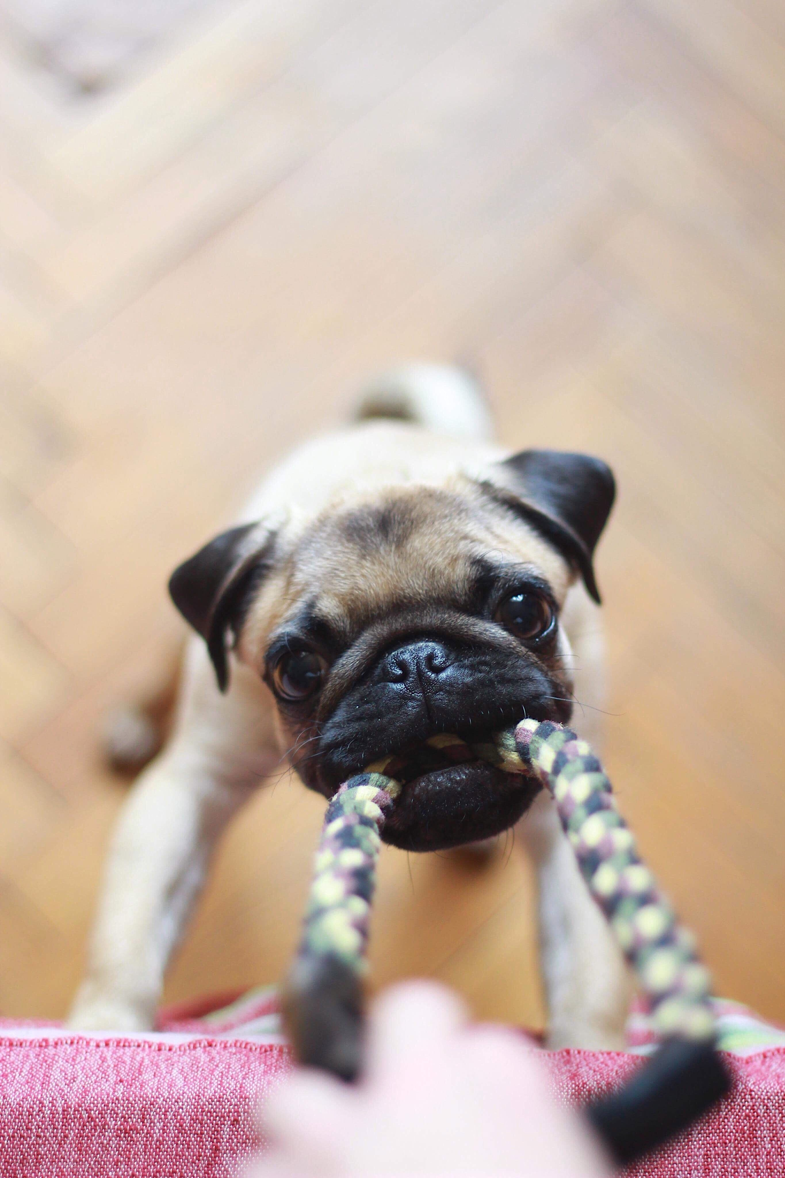 Pug Puppy Love This Cute Puppy Easiest Dogs To Train