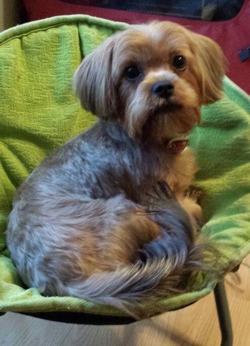 Shorkie Yorkie Shih Tzu Mix Cash Puppy Dogs Shorkie Puppies