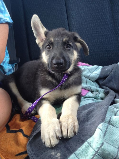 I Love The One Ear Up And One Ear Down Stage German Shepard