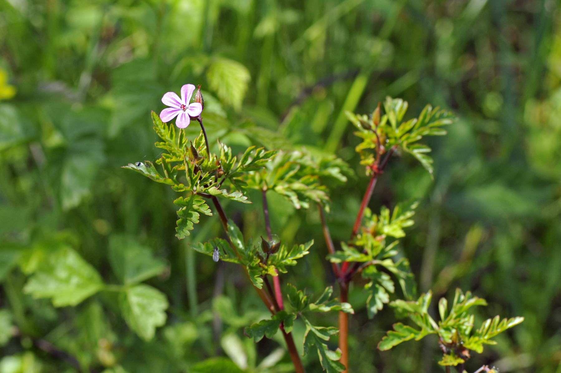 Erba cimicina (Geranium robertianum)