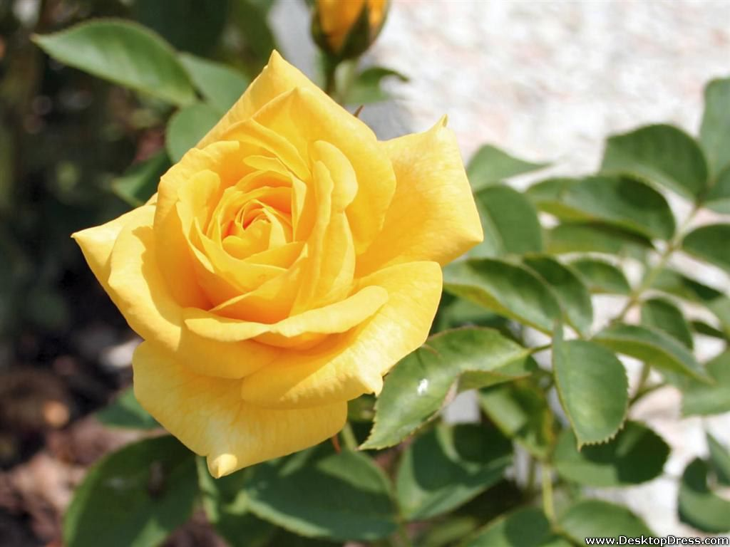 Yellow Rose Image Full HDQ Pictures
