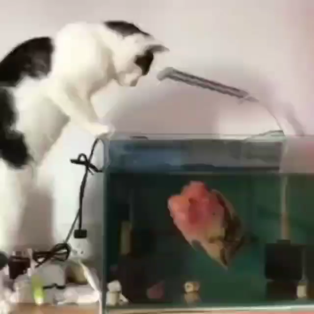 This is extremely dangerous for both the cat and the fish (and that tank isn't even remotely big enough for that fish).