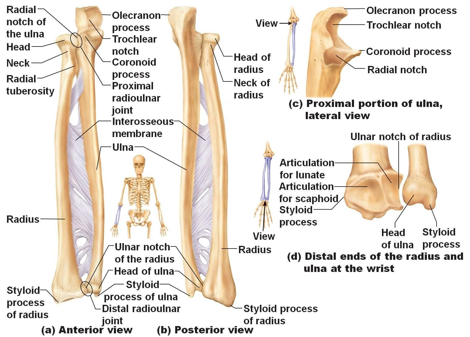 small resolution of head ulna diagram wiring diagram official ulna diagram neck