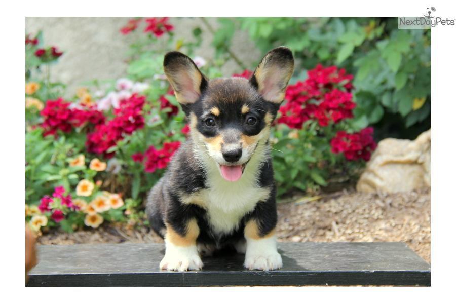 [8+] Corgi Puppies To Sale At New South Wales