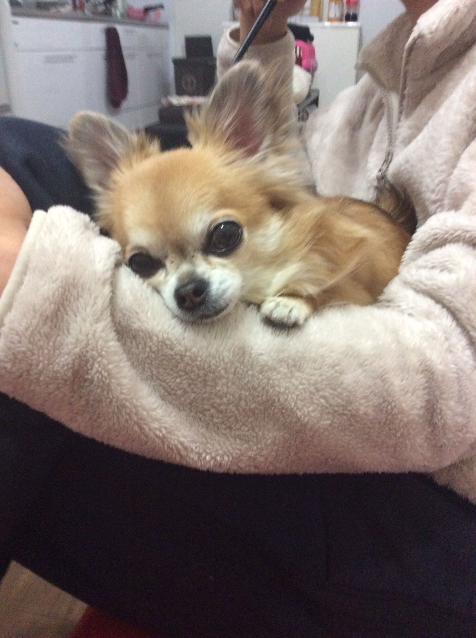 Chihuahua Love By Marla Pisarek On Love Chihuahuas Chihuahua