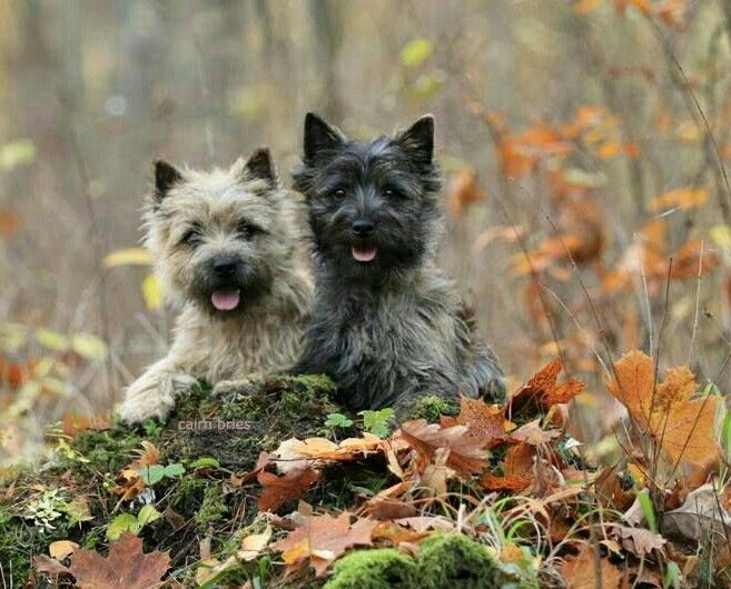 Cairn Terriers Scotland Cairn Terrier Puppies Cairn Terrier